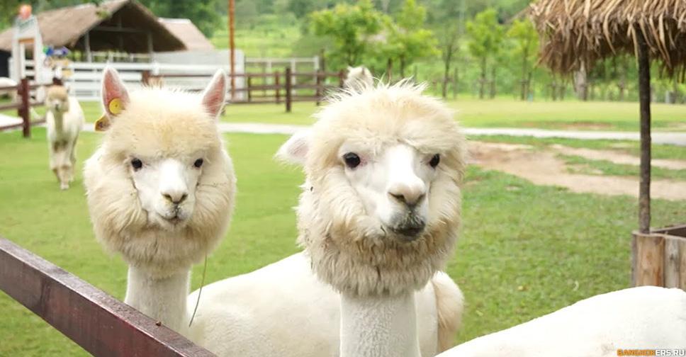 ЗЕМЛЯ КОРОЛЕЙ И ПАРК АЛЬПАКА (Высокогорный парк редких животных Южной Америки).