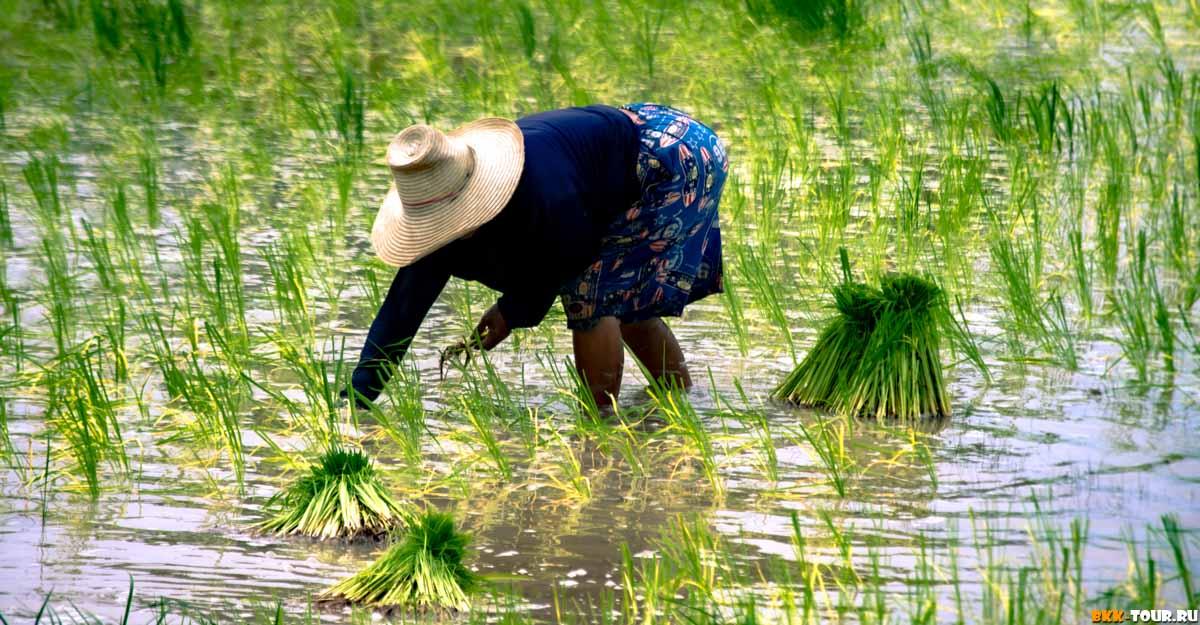 Рисовые поля в Исане. Накхон Ратчасима