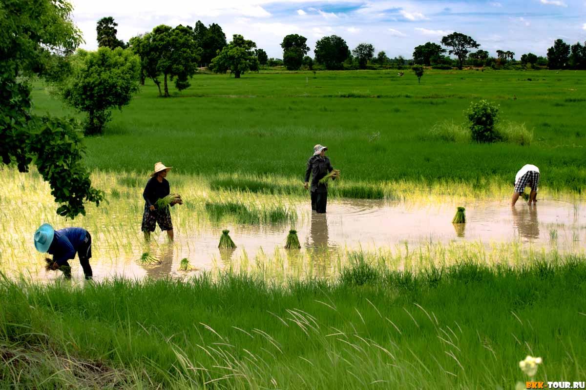 Как и где выращивают рис в Таиланде