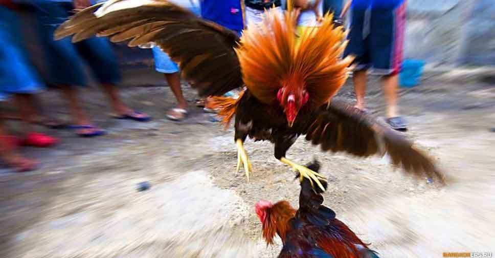 Петушиные бои в Таиланде